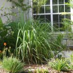 Lemongrass Grow In The Shade